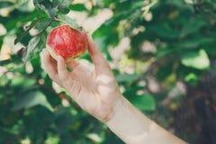 Barnhanden - välj det röda mogna äpplet på träd i trädgård fotografering för bildbyråer