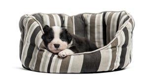 Barnkorsningvalp som sover i en lathund royaltyfria foton
