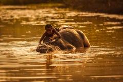 Barnlek med vattenbuffeln Royaltyfri Bild