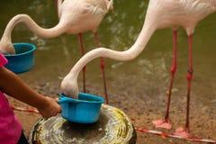 Barnmatningar en flamingo royaltyfria bilder