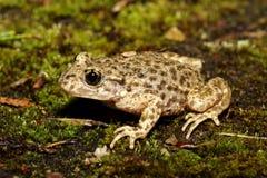 Barnmorska Toad - Alytesobstetricans Arkivfoto