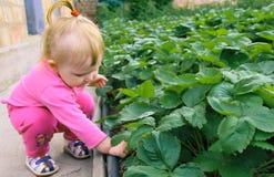 Barnplockningjordgubbar Ny frukt för ungehacka på organisk jordgubbelantgård Fotografering för Bildbyråer