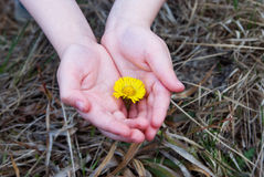 Barns händer med blomman Arkivbild