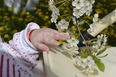 Barns hand med äppleblomningen Arkivbilder