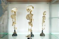 Barns m?nskliga medicinska skelett p? vit bakgrund Begrepp f?r medicinsk klinik Vetenskapsmuseum royaltyfri foto