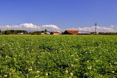 Barns among potato field. Delta, British Columbia Royalty Free Stock Photos