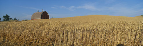 Barns and Wheat Fields Stock Photo
