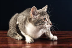Barnsilver Tabby Kitten Cat Looking Royaltyfri Fotografi