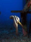 Barnslig Batfish Royaltyfria Bilder