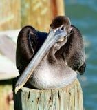 Barnslig brun pelikan som sitter på trava royaltyfri foto