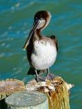 Barnslig brun pelikan som står på trava arkivbilder