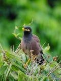 Barnslig fågel i naturlig livsmiljö Fotografering för Bildbyråer