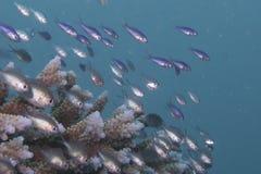 Barnslig fisk som svärmer över korall Arkivbilder