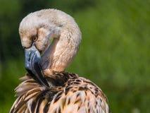 Barnslig flamingo Arkivfoton