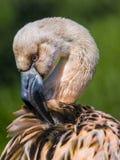 Barnslig flamingo Arkivbilder
