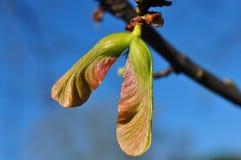 Barnslig frukt av trädet för silverlönn (den Acer saccharinumen) Royaltyfri Fotografi