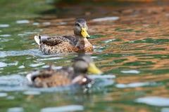 Barnslig gräsandandsimning på vatten Royaltyfria Bilder