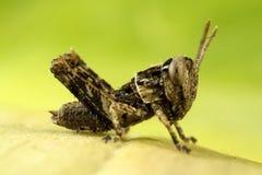 Barnslig gräshoppa Arkivbilder
