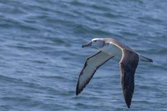 Barnslig Grå färg-hövdad albatross fotografering för bildbyråer