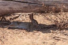 Barnslig kanin, Sylvilagusbachmani, lös borstekanin vilar under en inloggning Irvine Arkivbilder