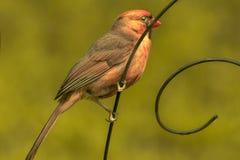 Barnslig kardinal Bird som stramt rymmer royaltyfria foton