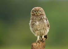 Barnslig liten Owl Athene noctua på en stolpe arkivbild