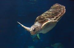 Barnslig loggerheadhavssköldpadda, Carettacaretta Arkivbild