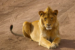 Barnslig male lion som fast beslutsamt stirrar in i kameran arkivbild