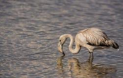 Barnslig mer stor Flamingo fotografering för bildbyråer