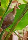 barnslig purple för gallinule Royaltyfri Bild