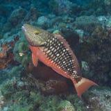 Barnslig rött ljusParrotfish Fotografering för Bildbyråer