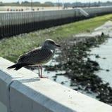 barnslig seagull fotografering för bildbyråer