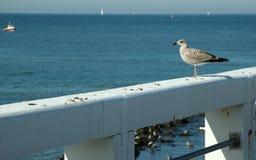 barnslig seagull royaltyfri fotografi