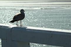 barnslig seagull royaltyfria bilder