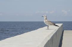Barnslig Seagull på den konkreta bryggan Arkivbilder