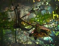 Barnslig sköldpaddakuriositet Arkivbild