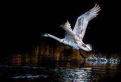 Barnslig start för stum svan från sjön arkivfoton