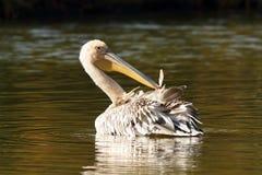 Barnslig stor pelikan på dammet royaltyfri fotografi
