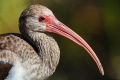 Barnslig vit ibisEudocimus albus, Evergladesnationalpark Royaltyfria Bilder
