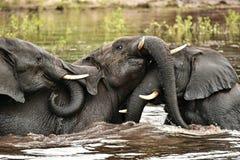 Barnsliga elefanter som jousting i vattnet av den Chobe floden Royaltyfri Fotografi