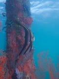 Barnsliga longfinspadefish på en av mina favorit- makroplatser i norr Sulawesi, paradisbrygga, nära Pulisan, Indonesien Arkivfoton