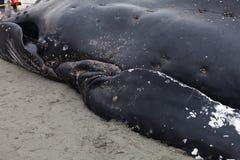 Barnsliga puckelryggvalwashes ashore och matrist fotografering för bildbyråer
