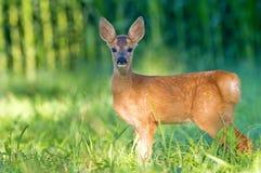 Barnsliga rådjur - bambi Royaltyfri Fotografi