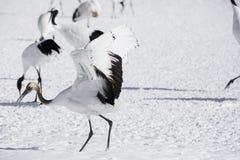 Barnsliga röda krönade Crane Lands i djup snö fotografering för bildbyråer