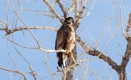Barnsliga skalliga Eagle i Colorado royaltyfri fotografi
