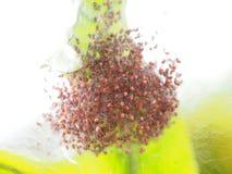 Barnsliga spindlar som ser som mänskliga skallar som är intrasslade i rede Royaltyfri Bild