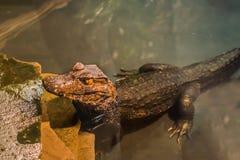 Barnsligt dvärg- anseende för kajmankrokodil i vattnet, alligator i closeupen, tropiskt reptilhusdjur från Amerika royaltyfri bild