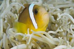 barnsligt rött hav för anemonefish Arkivfoton