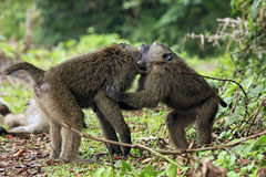 Barnsligt slåss för babianer Fotografering för Bildbyråer