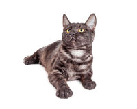 Barnsvart och Grey Tabby Cat Looking Up Arkivbild